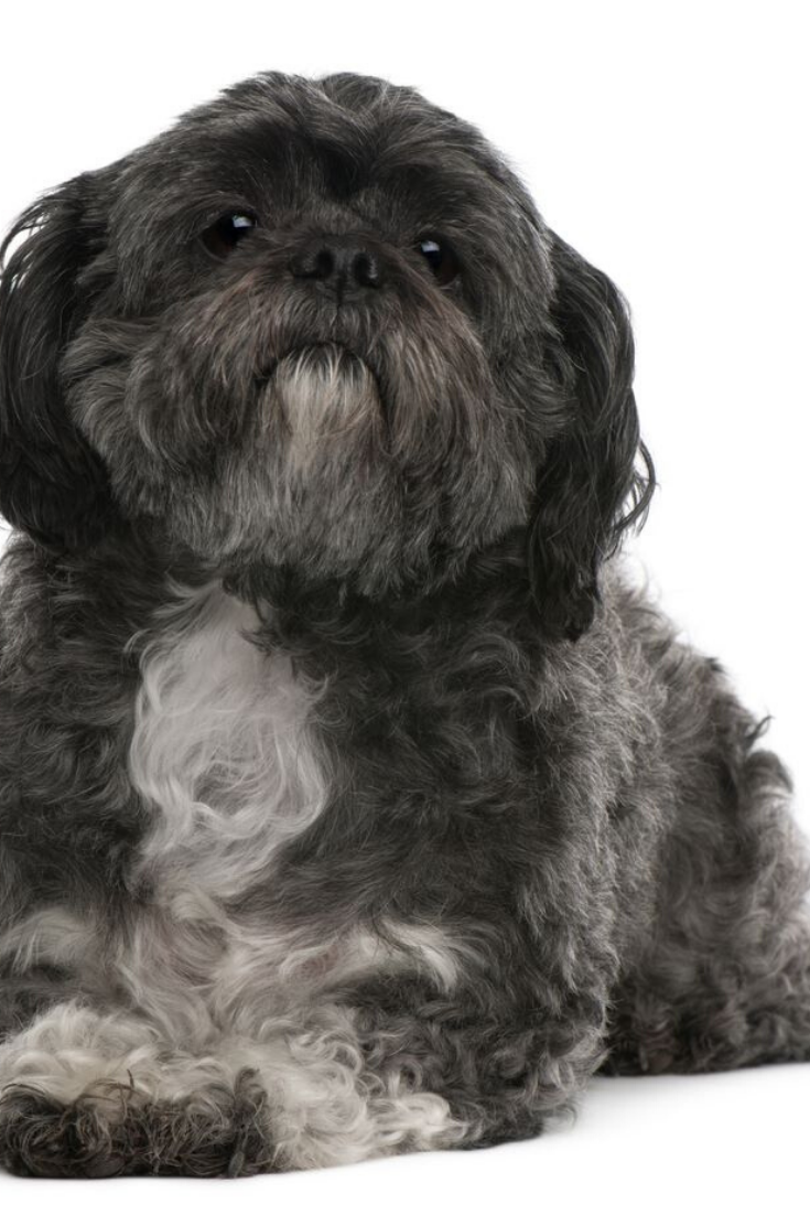 Shih Tzu 6 Years Old Lying In Front Of White Background Shihtzu Shih Tzu Shih Tzu Puppy Shih Tzu Dog