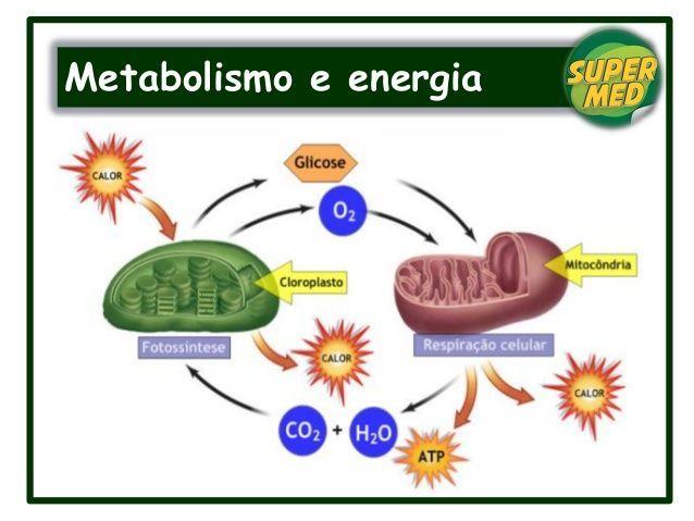 Metabolismo y energía - Education