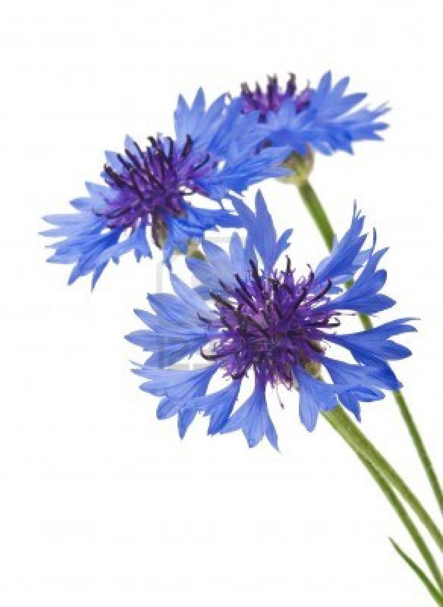 Cornflower Flower Painting Floral Painting Watercolor Flowers