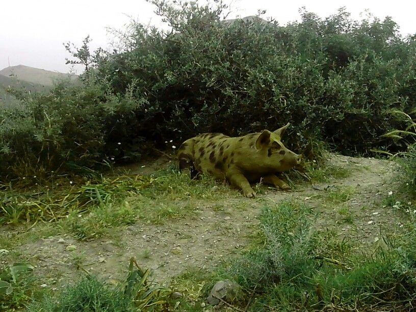 delmatian pig