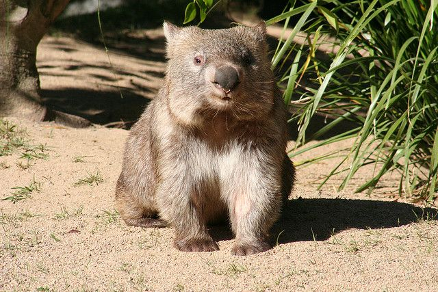 """Doesn't this Wombat look like Francis from the book """"A Bargain for Francis?"""""""