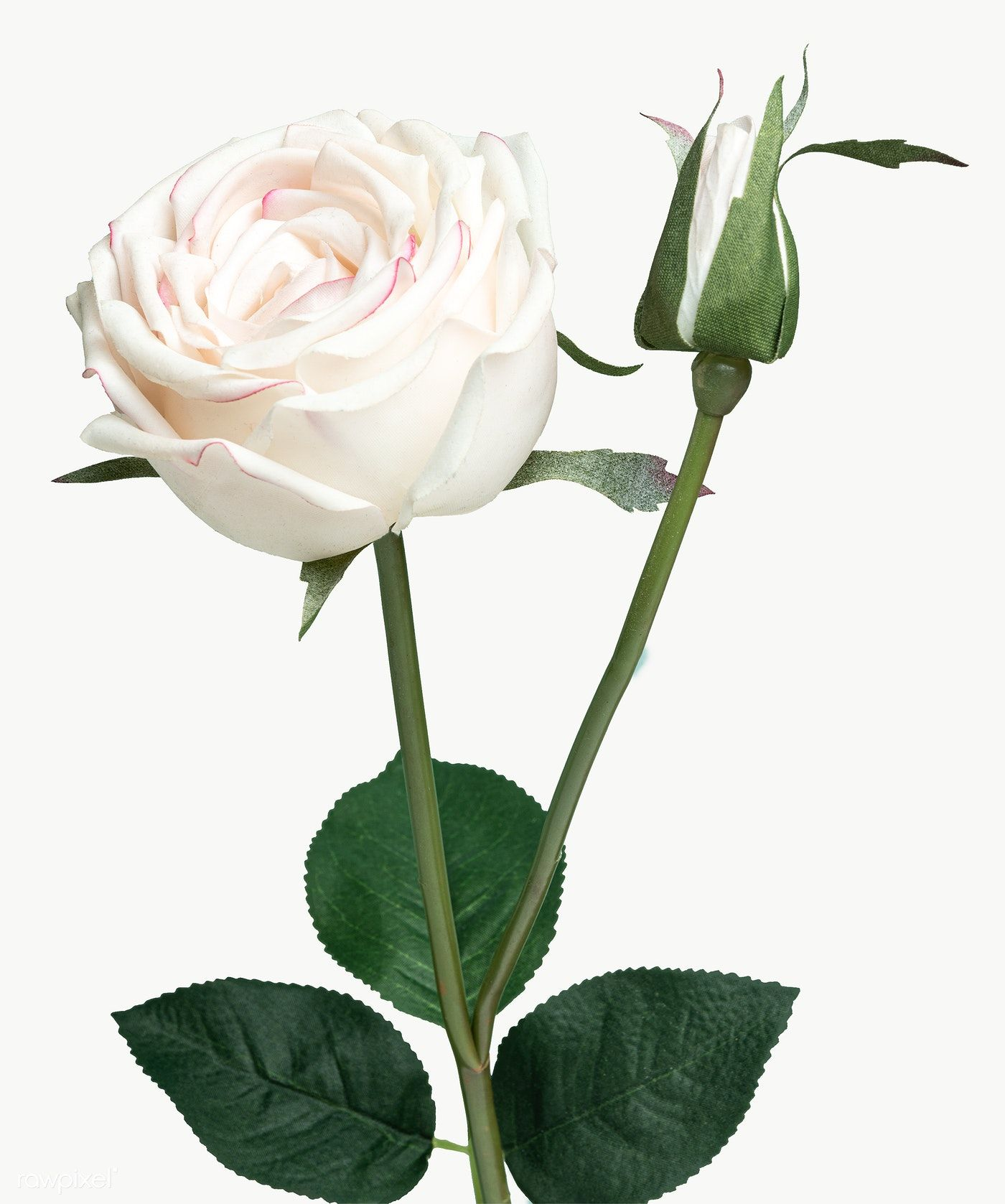 Download Premium Png Of White Rose Flower Transparent Png 2278243 White Rose Flower White Lily Flower Rose Flower Png