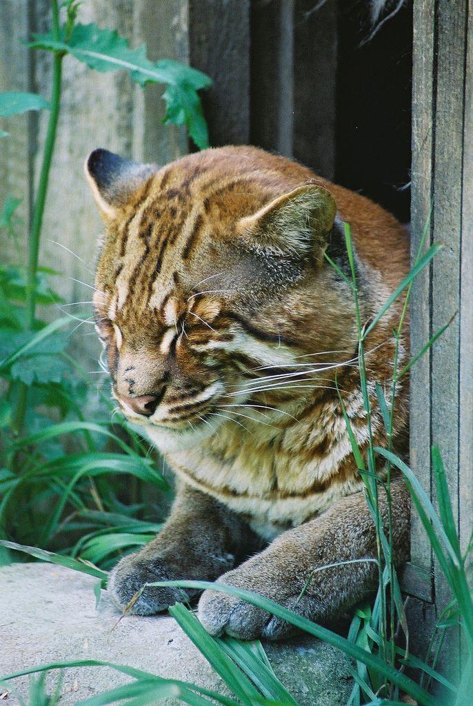 Golden Cat Asian leopard cat, Wild cat species, Small
