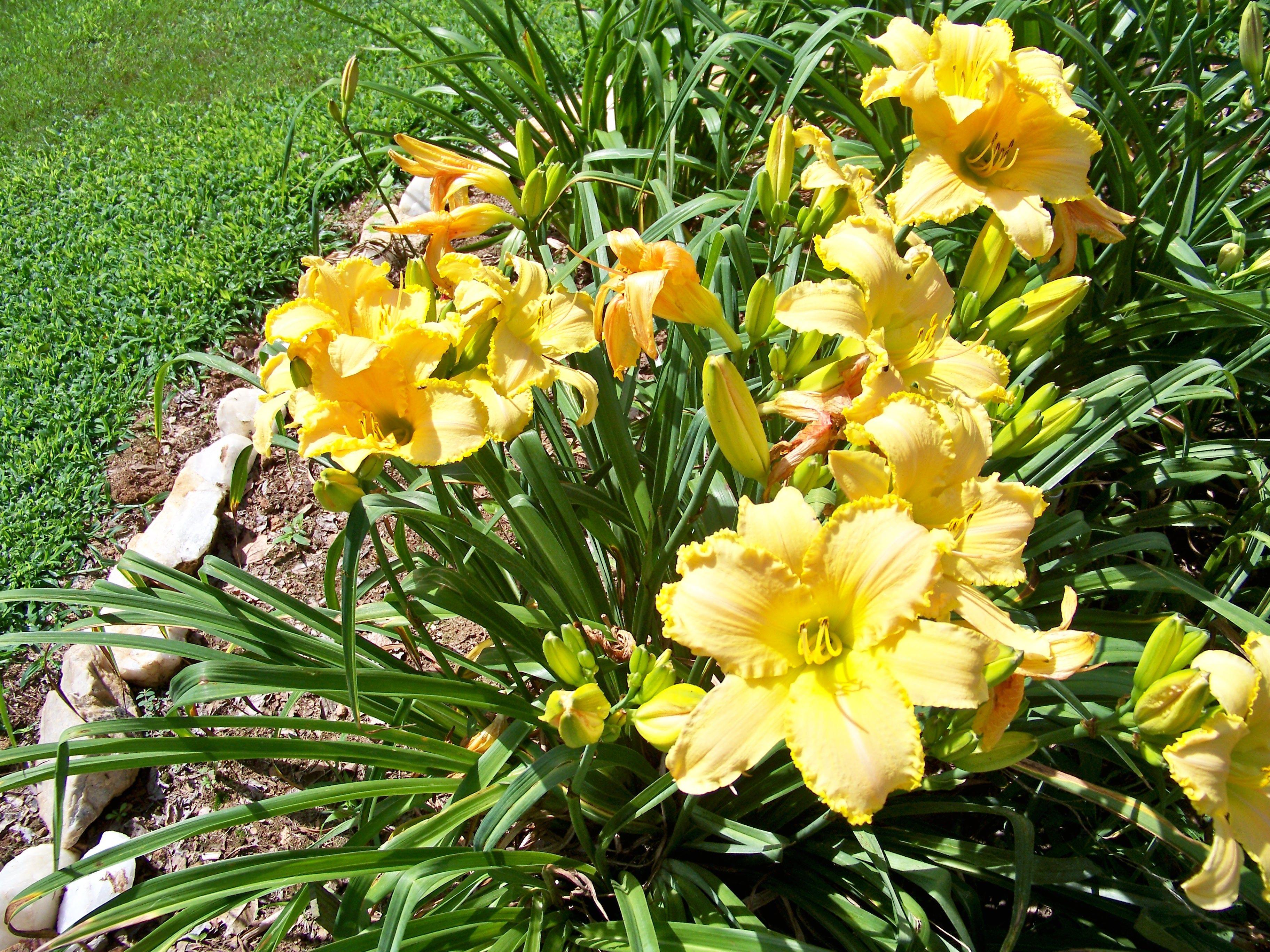 Daylily at Mazie's Garden