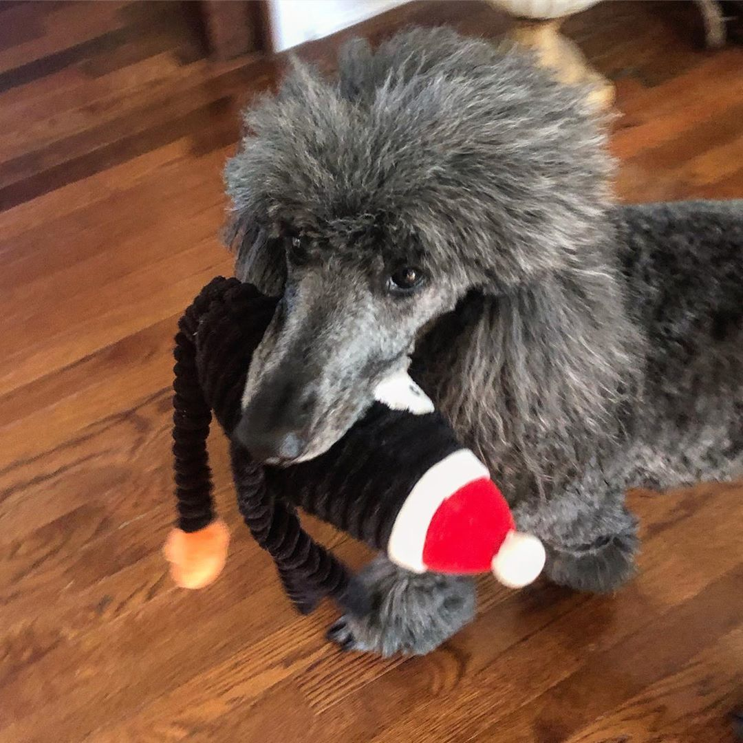 I love you so much even if you dont let me take pictures  #dogsofinstagram #dog #dogs #poodlesofinstagram #poodle #poodles #standardpoodle #standardpoodlesofinstagram #floof #floofer #theonlytoysheeverplayswith #love #iloveyou #ilovemydog #lunaI love you so much even if you dont let me take pictures  #dogsofinstagram #dog #dogs #poodlesofinstagram...