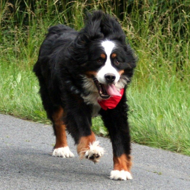 Berner Sennenhund Shadow Hunde Haben Alle Guten Eigenschaften Der Menschen  Ohne Gleichzeitig Ihre Fehler Zu Besitzen