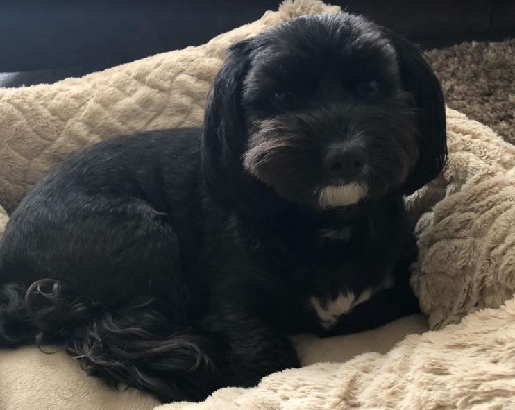 Milo Havanese Dog For Adoption In Raleigh Nc Milo Is A Healthy