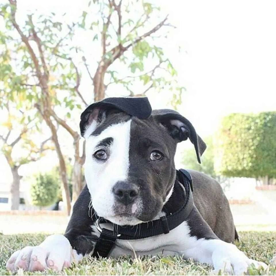 Black and white American Stratford Terrier Cute dog