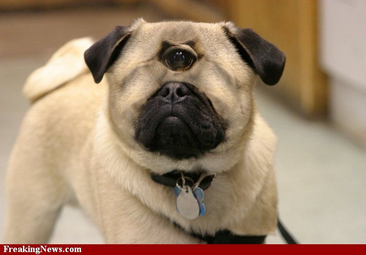Pug Pictures Google Search Pugs Pug Dog Pug Puppies
