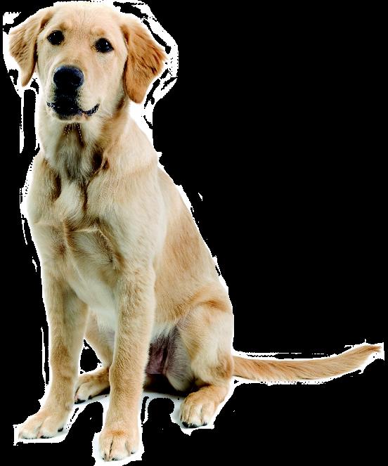 Dog Png Images Golden Retriever Labrador Labrador Retriever Mix Labrador Retriever