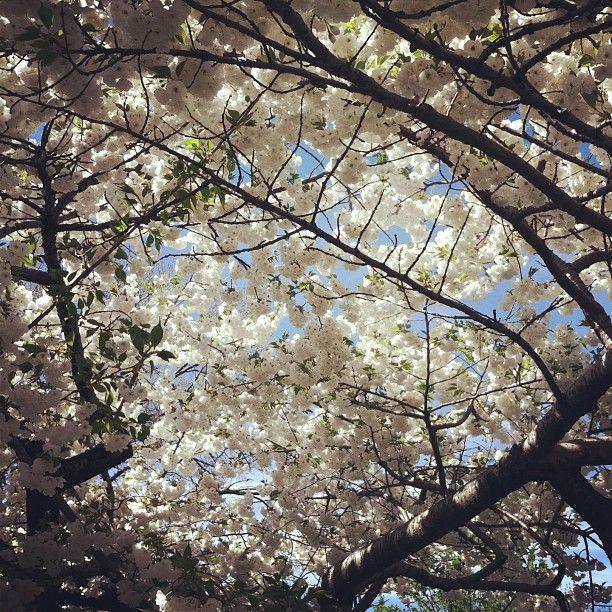 Dreamy spring; #cherryblossom #sakura #floral #flower #nyc #spring #dream #fantasy #photooftheday #picoftheday