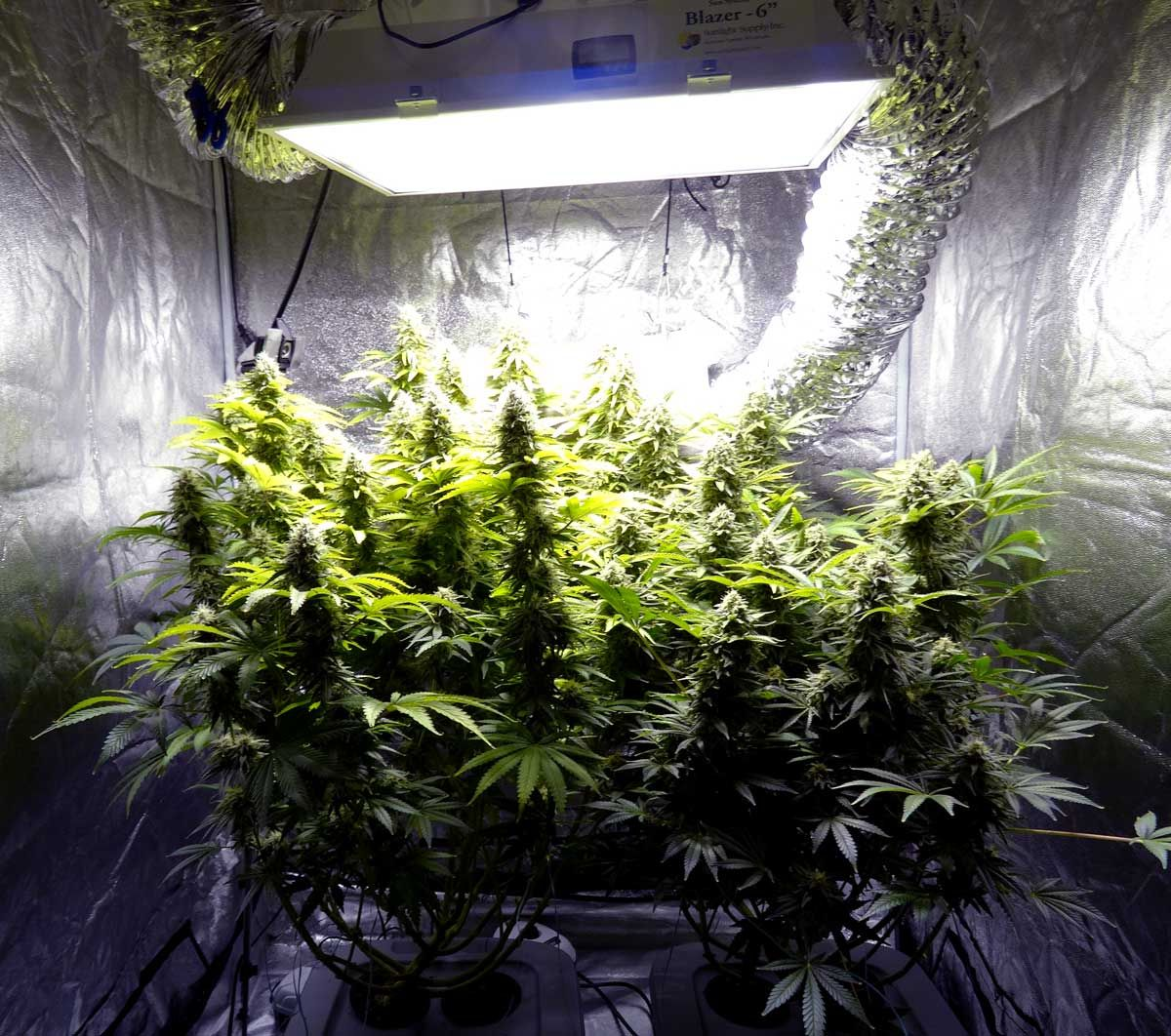 By Controlling The Environment In Your Grow Space You Can
