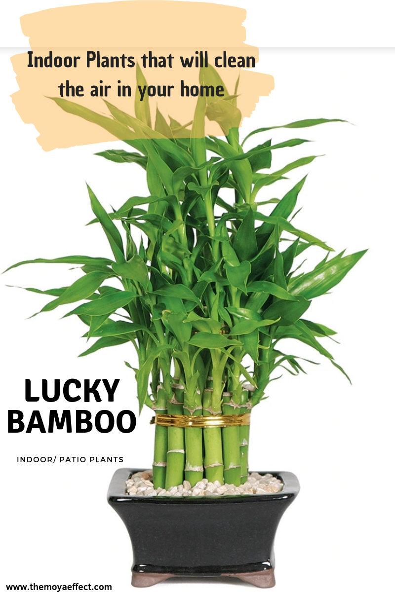 7 Of The Best Plants To Grow In Your Home Plants Small Bamboo