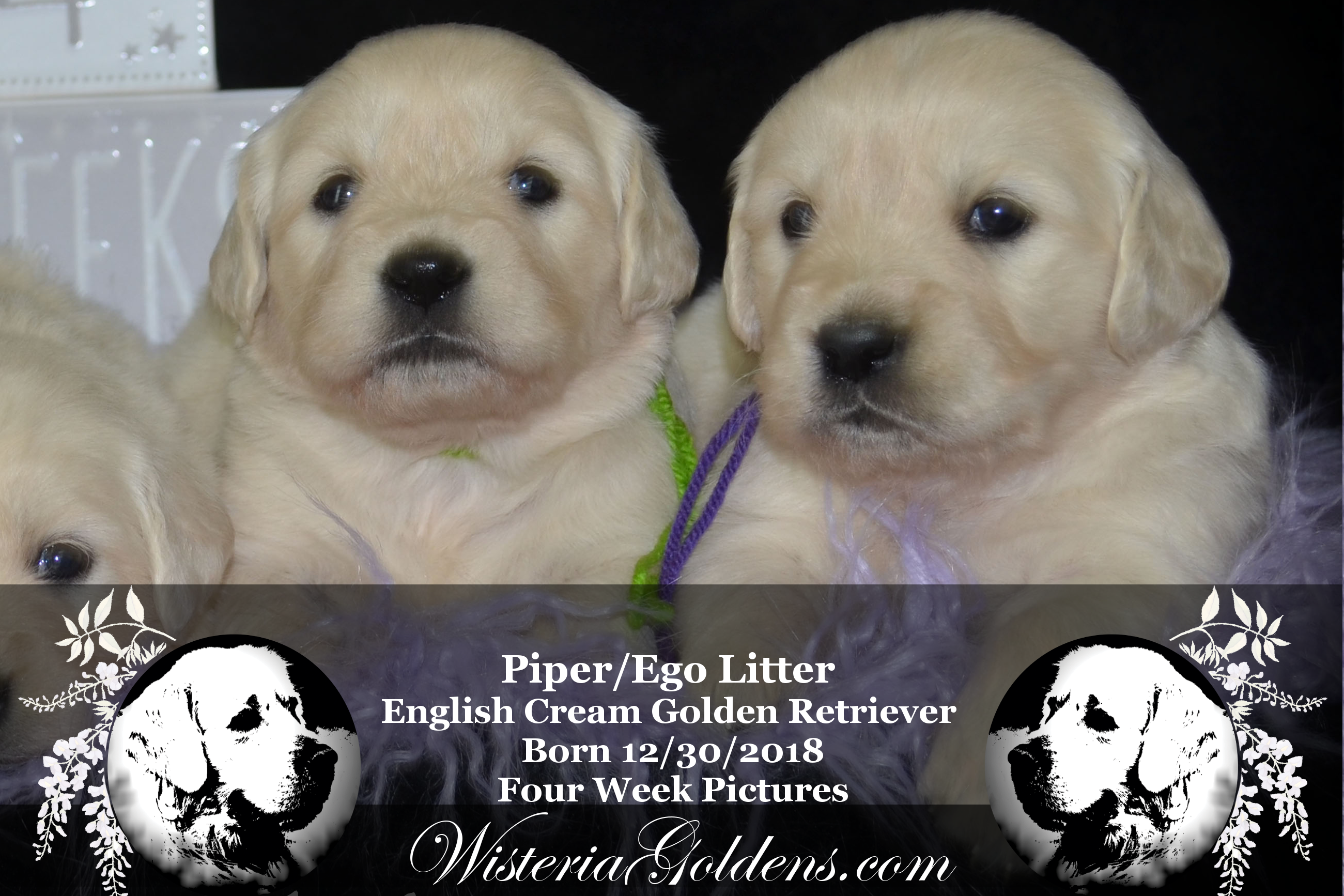 Piper Litter Born 12 30 2018 Piper123018 Puppies For Sale Pictures Puppies