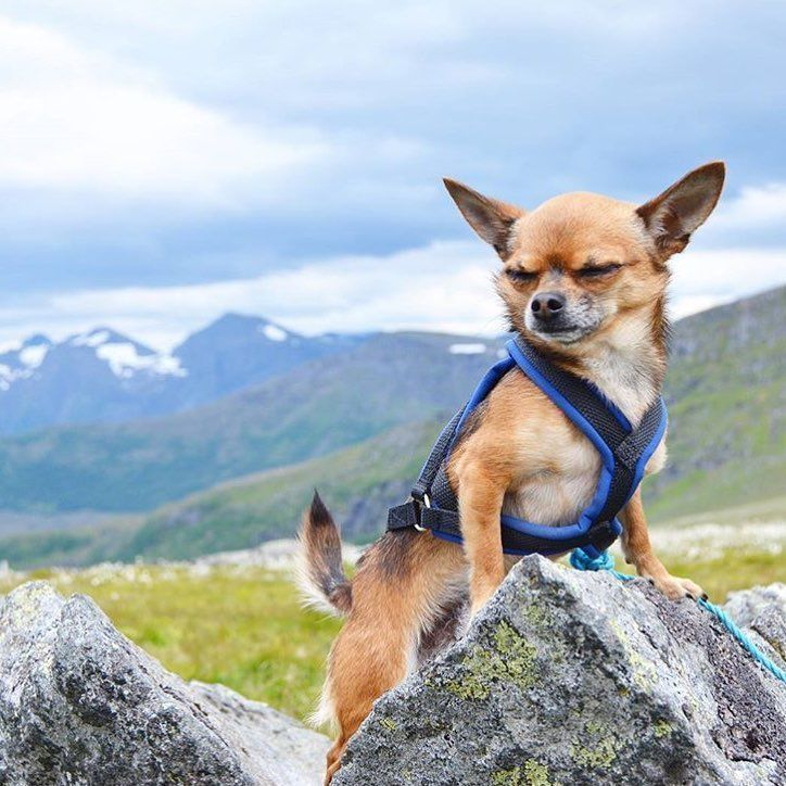 Not sure who this little Chihuahua is, but I'd love to be hiking in the mountains with him/her.