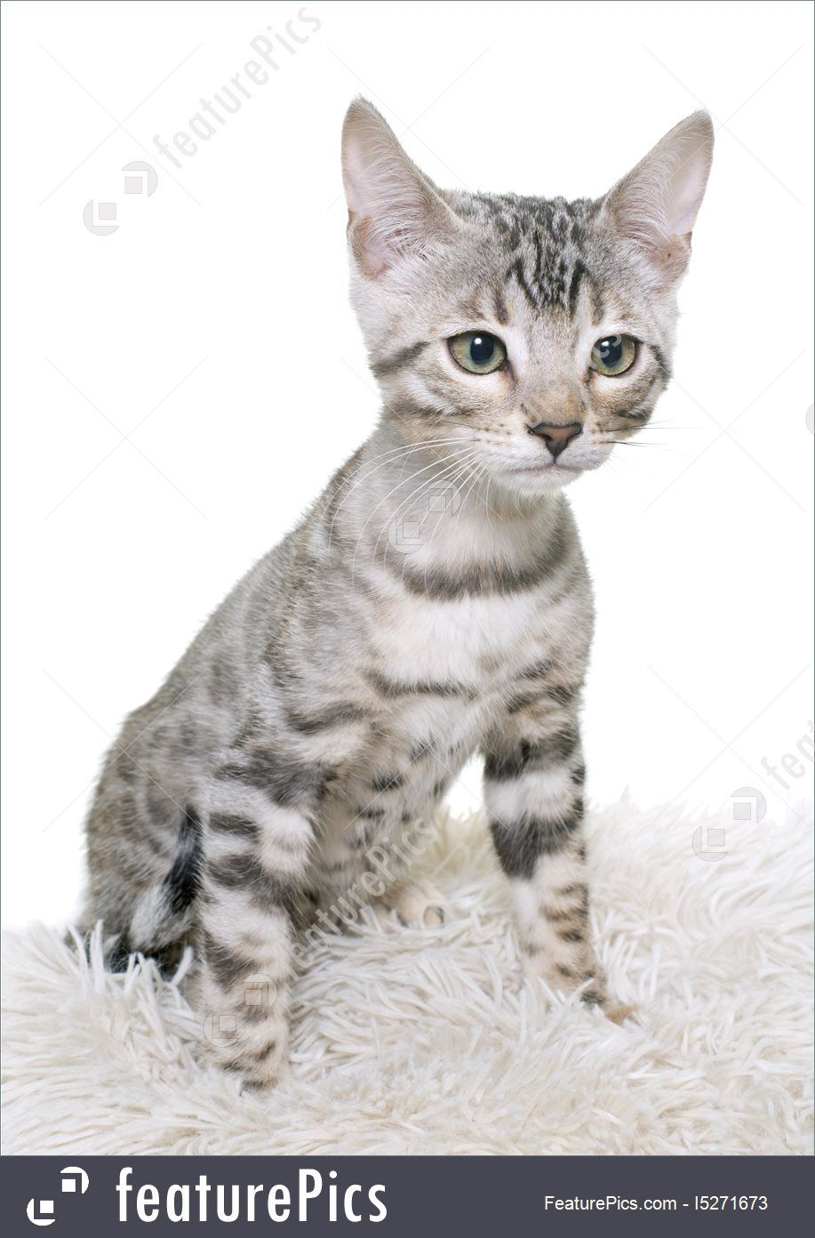 Related image Bengal cat, Cats, Animals
