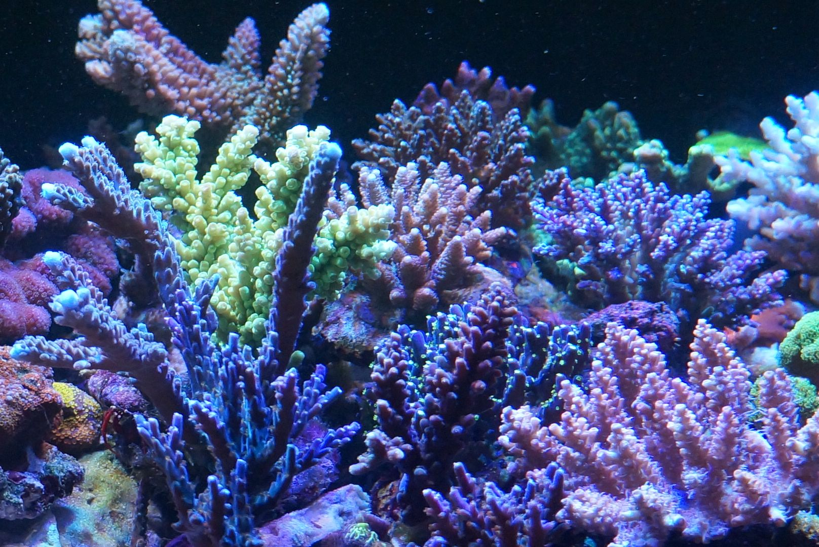 Hard Coral Color Growth Led Aquarium Lighting Reef Tank Hard Coral