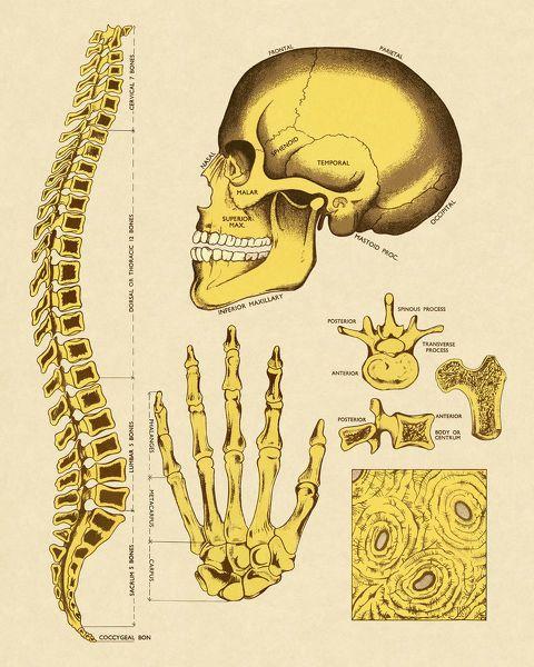10+ Jigsaw Puzzle. Various Human Bones