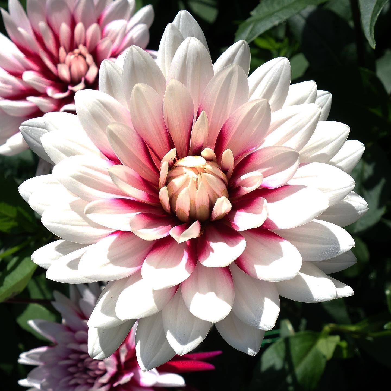 Dalia.  #flors #flores #flowers #ig_flors #shin_nature #shin_flors #shin_flores #shin_flowers #ig_flores #ig_nature #ig_flowers #naturaleza #nature #flower_igers #natura #nature #flowerstagram #flowersgram #dalia #dahlia #parcfloraldeparis