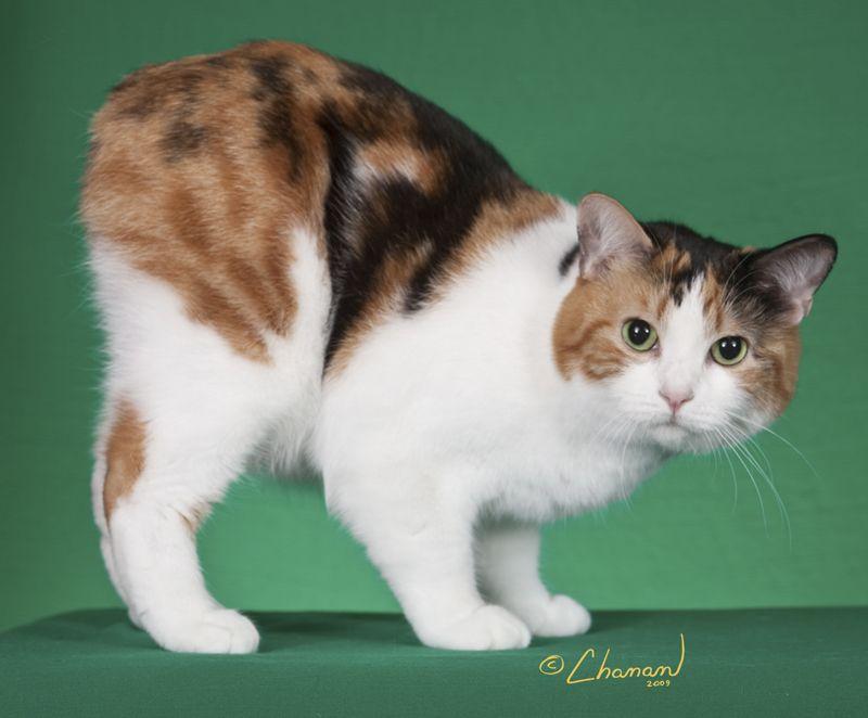 Manx Calico Manx Cat Munchkin Cat Cats And Kittens