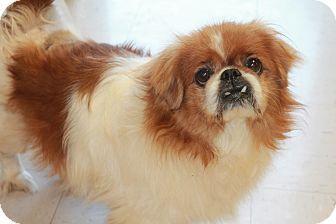 Pittsburgh Pa Pug Pomeranian Mix Meet Rex See Video A Dog