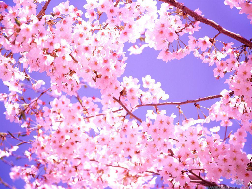 Beautiful Cherry Blossom Wallpapers 2560x1920 1024x768 Jpg 1024 768 Cherry Blossom Wallpaper Cherry Blossom Cherry Blossom Tree