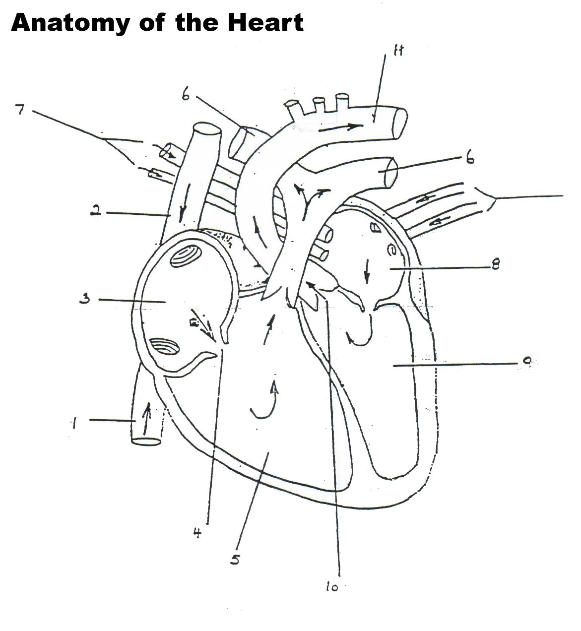 Human Heart Worksheet Blank Heart Diagram Anatomy And
