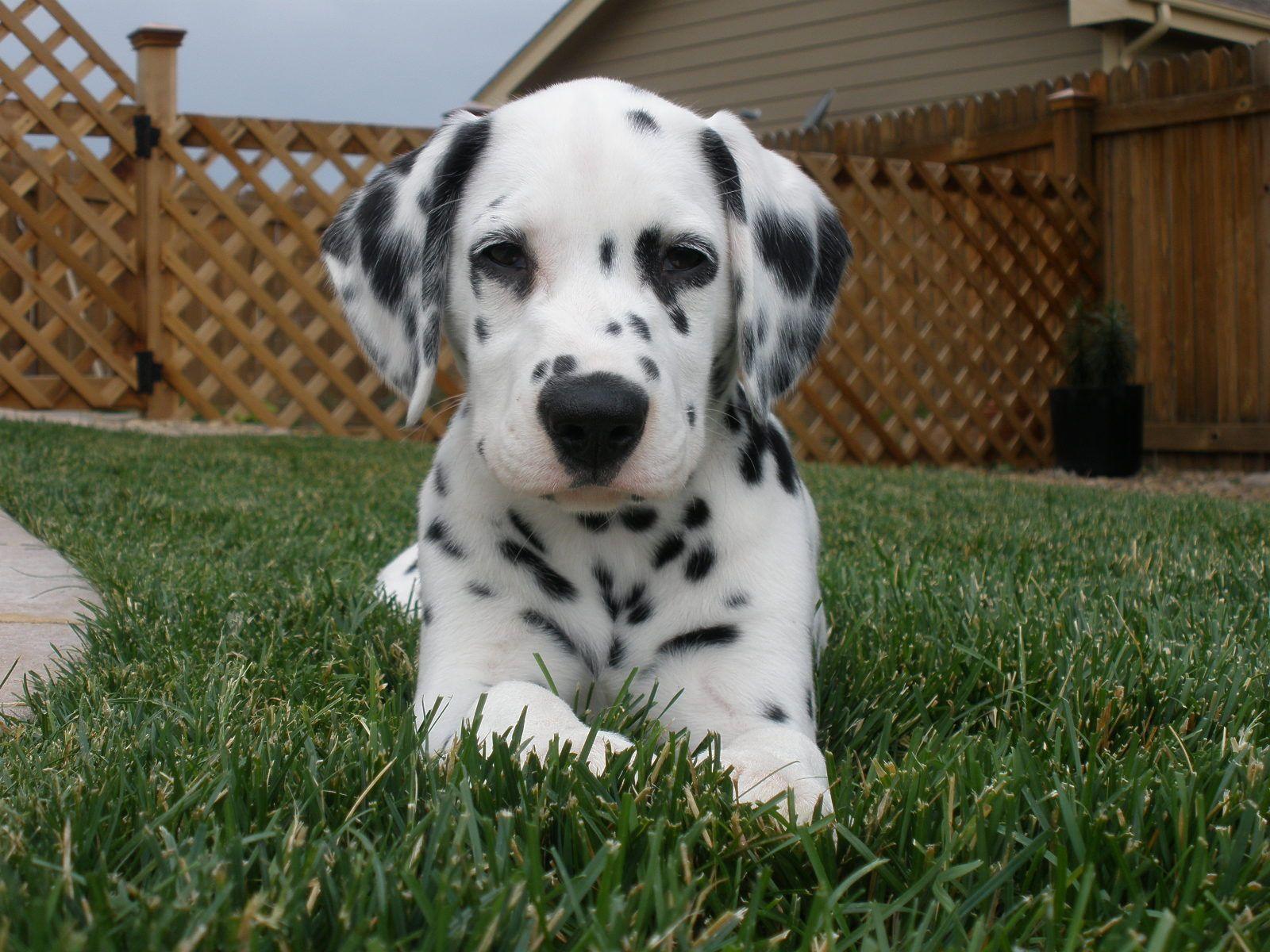 Dalmatian puppy 10 weeks old