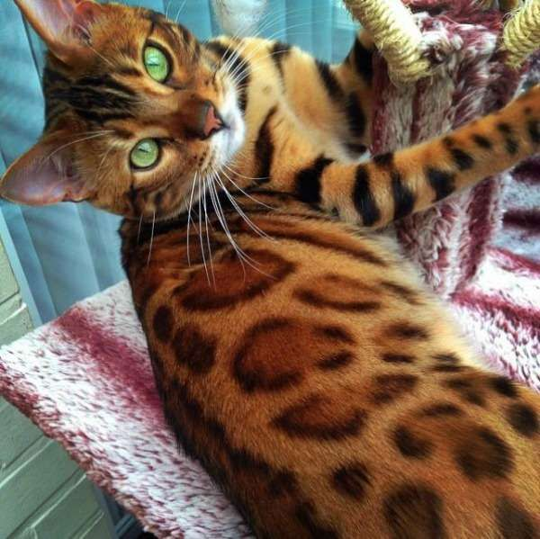 Bengal Cat Looks Like A Mini Tiger And Has The Internet Saying Me