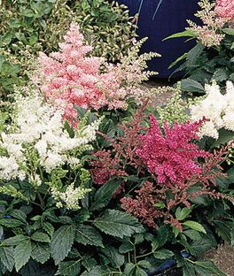 Astary Mixed 15 Seeds Astilbe