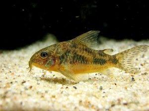 The Care Feeding And Breeding Of Peppered Corydoras Freshwater Fish Fish Catfish