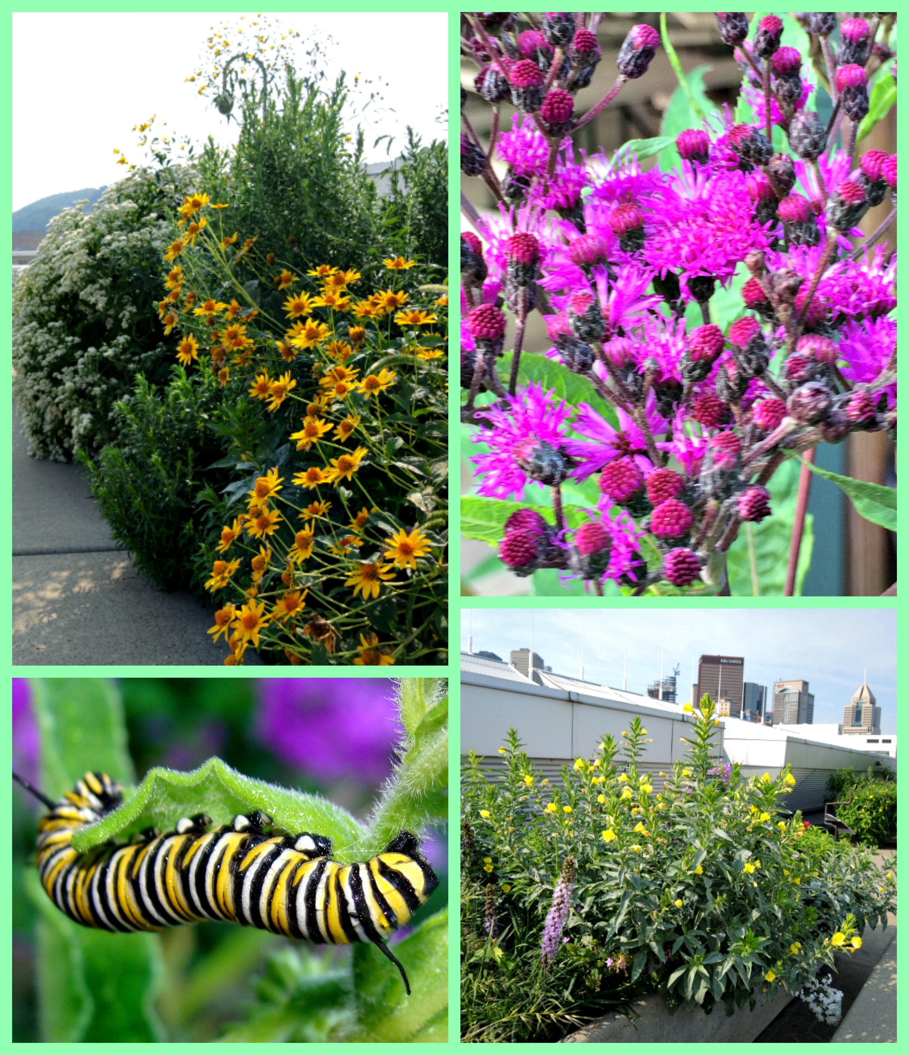 Monarch Waystation On The Roof Of The Conventiion Center In Pittsburgh,  Monarch Caterpillar Picture By Martin LaBar