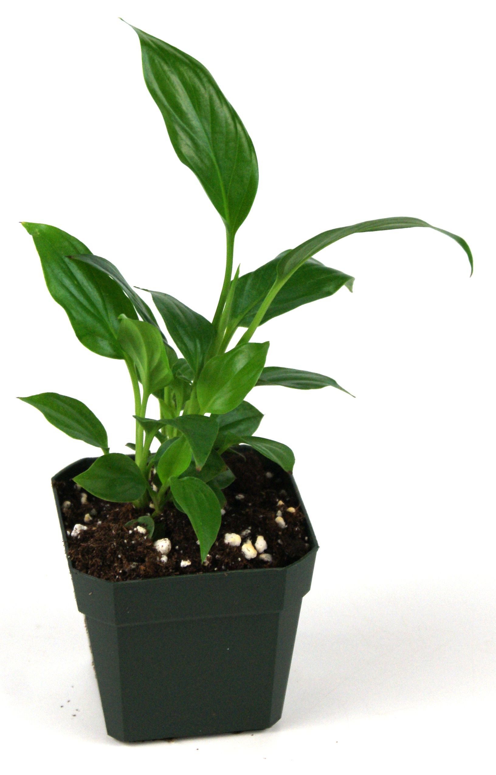 Spathiphyllum Allison 4 99 Availability Out Of Stock Quantity