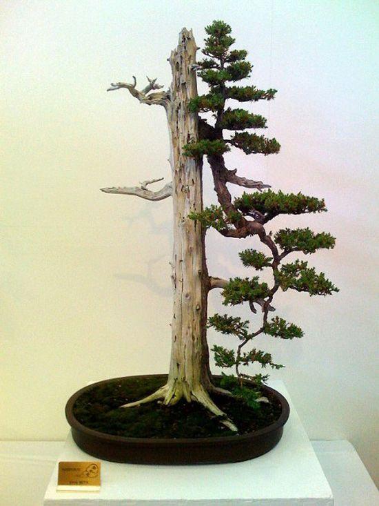 Foemina juniper  (before)