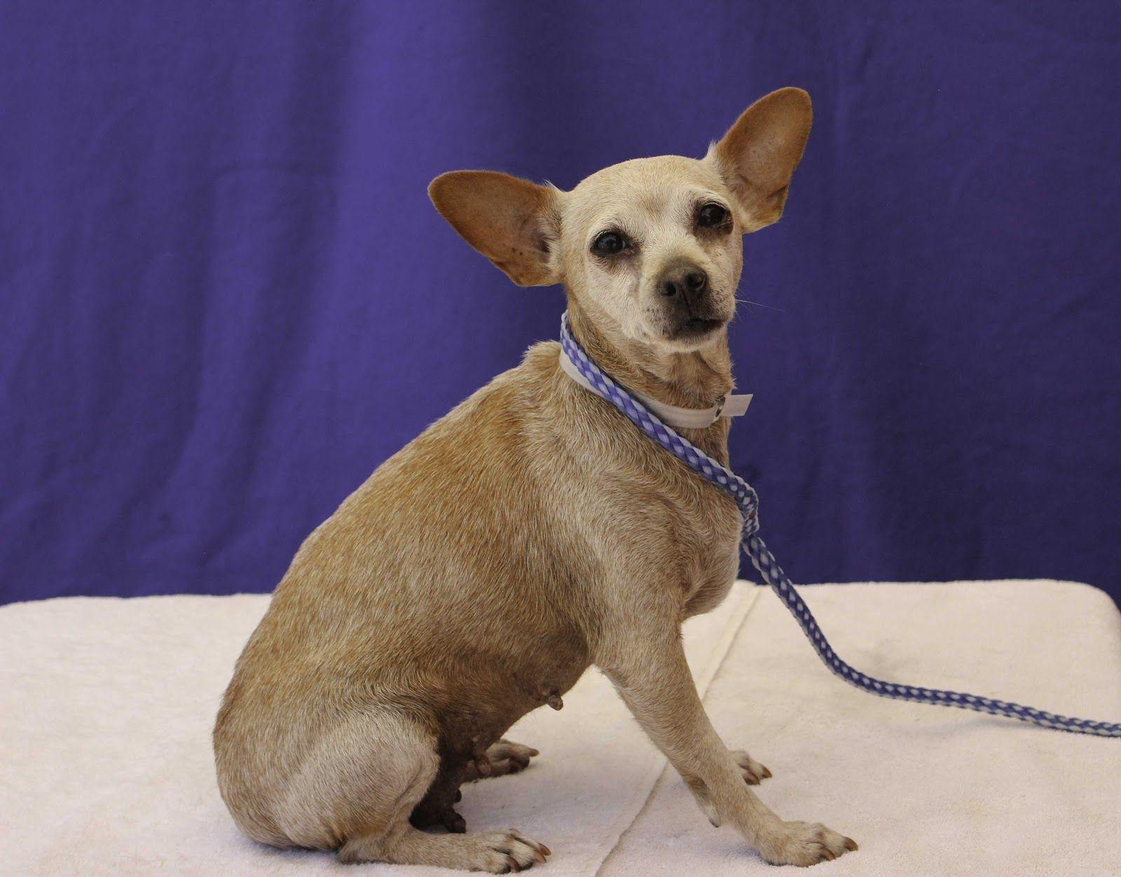 Chihuahua dog for Adoption in Pasadena, CA. ADN605442 on