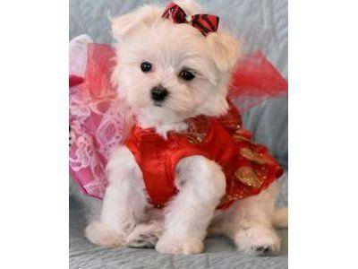 Maltese Puppies For Sale In Ashburn Va Maltese Puppy Maltese