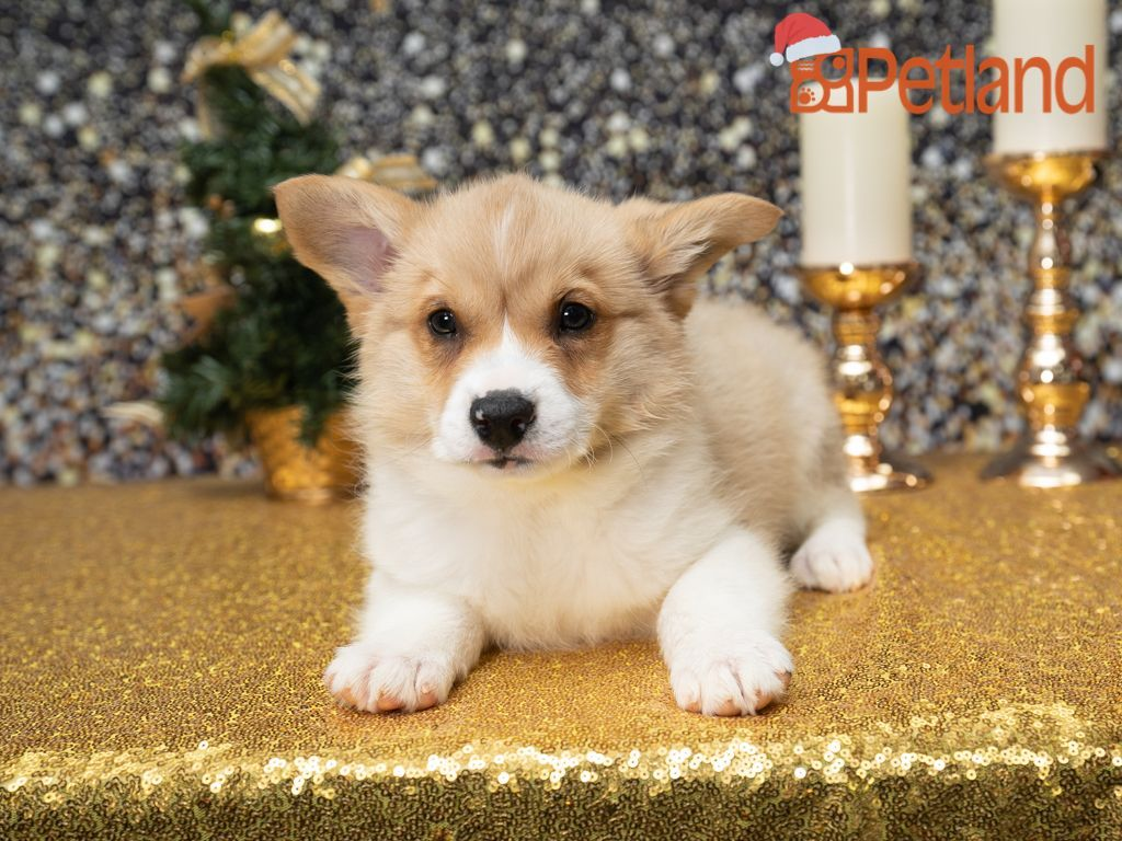 Puppies For Sale in 2020 (With images) Puppies, Puppy
