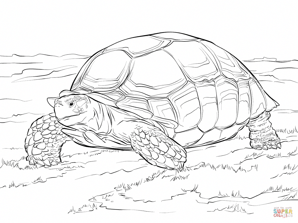 Sulcata Tortoise Super Coloring Sulcata Tortoise Animal Coloring Pages Tortoise Drawing [ 900 x 1200 Pixel ]