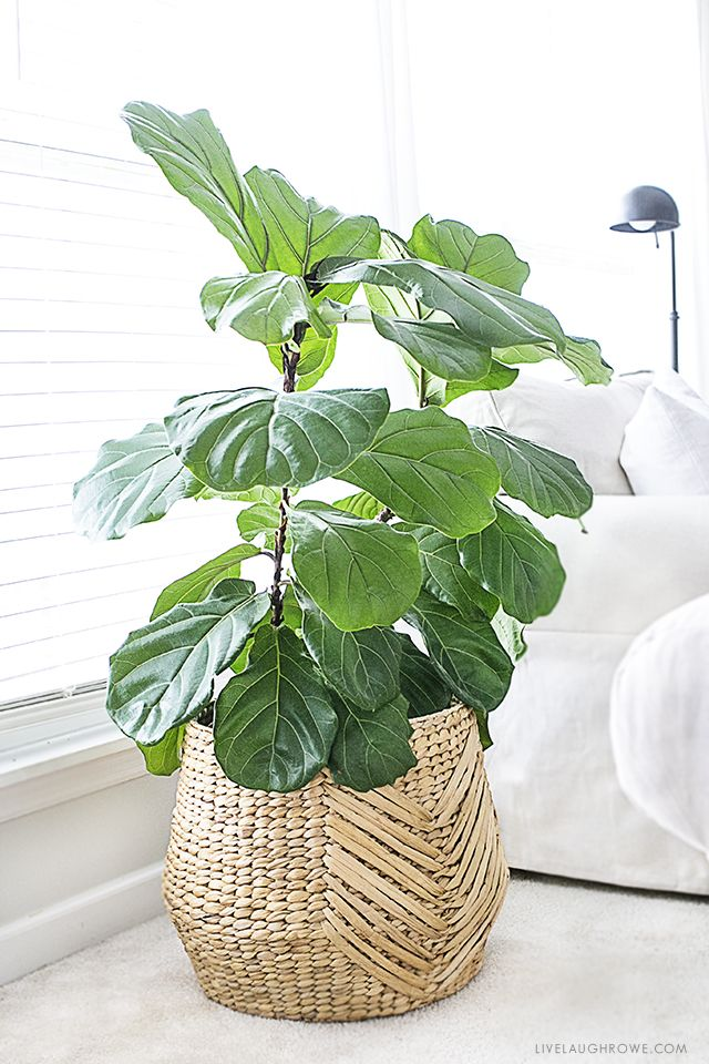 The Fiddle Leaf Fig Tree Is A Perfect