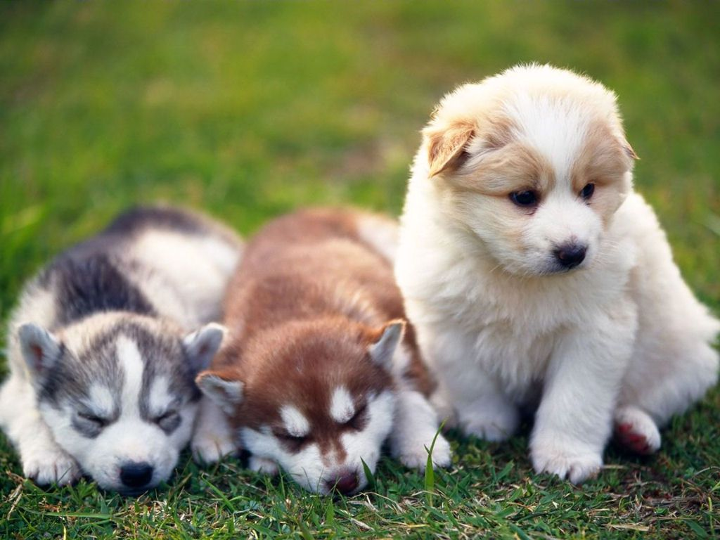 Anak Anjing Siberian Husky Dog Pinterest Chien Chiot And