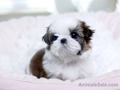 Teacup Shih Tzu Puppies Dubai City Shih Tzu Puppy Teacup Shih Tzu Pomeranian Puppy