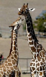 A pair of giraffes interact at Safari West in Santa Rosa. (BETH SCHLANKER/ The Press Democrat)
