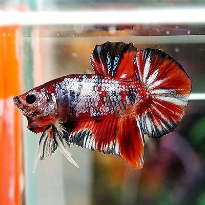Betta male fancy multi color super koi galaxy hmpk kg3 for Small koi fish for sale
