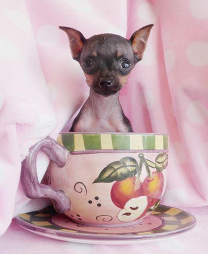 itty bitty miniature pinscher puppy <3