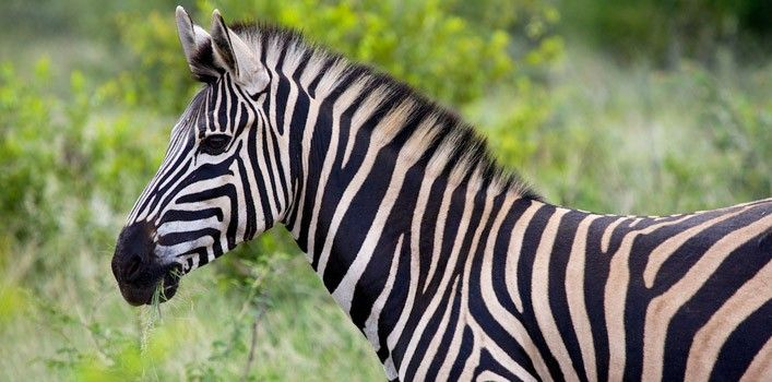 25 Amazing Facts About Zebras