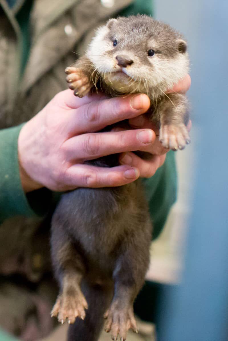 Woodland Park Zoo 39 S Otter Welpen Pass Erste Vet Prufung Zoobornen Otter Pup Otters Otters Cute