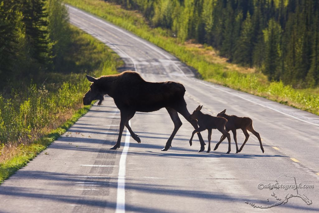 was chased by an angry mother moose, in the dark, I stumbled upon her baby by accident,  as I ran from her, she was catching up so close to me at times, I could literally feel the steam from her nostrils, thank God, I was on the all state track team. (saved my life!)