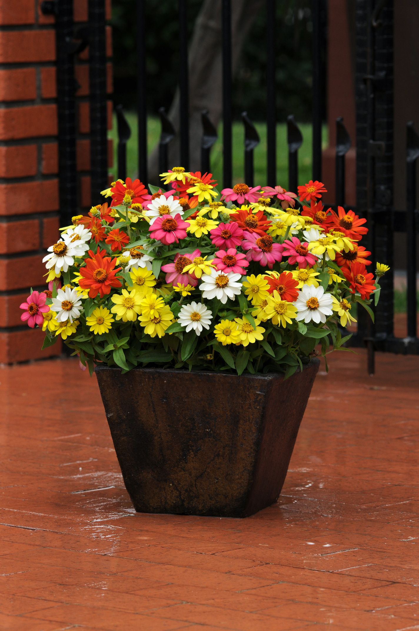 The full, bushy Zinnia Mix is covered with vibrant flowers that make a  marvelous statement in annual gardens and in containers!