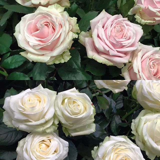 Roses Sweet Avalanche and Avalanche white are two great locally ...