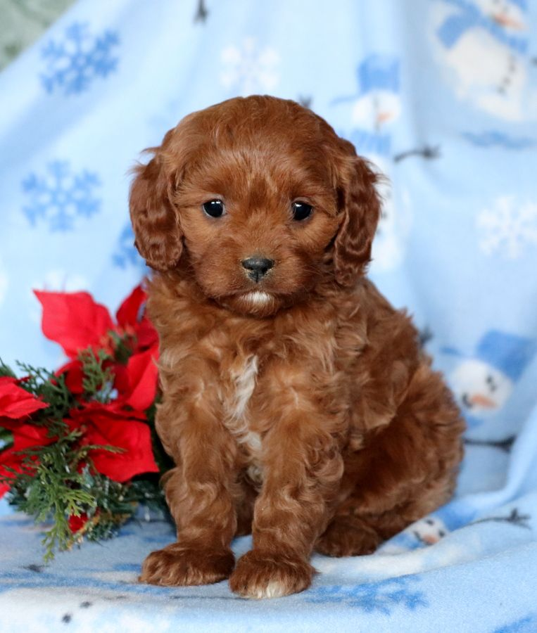 Cavapoo Puppies For Sale Cavapoo Puppies Cavapoo Puppies